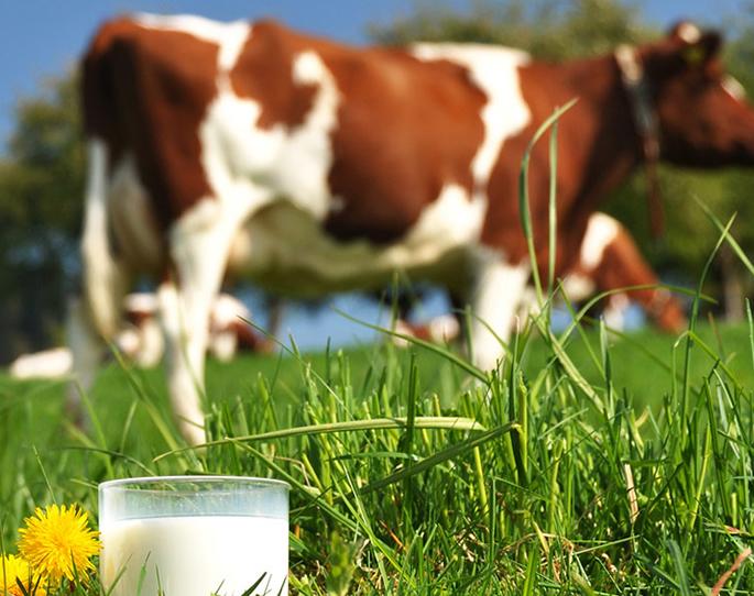 Vegan Cows Milk