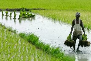 Rice Paddy India