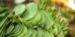 Betel Leaf to face Ban in UK