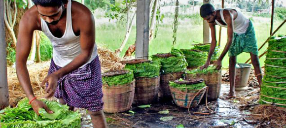 Betel Leaves Cultivation