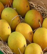 EU lifts Indian Alphonso Mango Ban