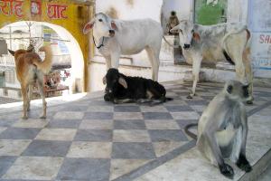 Beef Ban Maharashtra