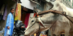 Beef Banned in Indian State of Maharashtra