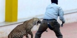 Leopard injures Six Men in Indian School