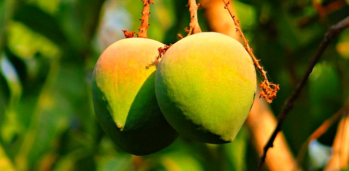 New research detects Mango Ripeness without Tasting it