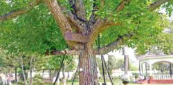 Arrested Tree by British in Pakistan still in Chains