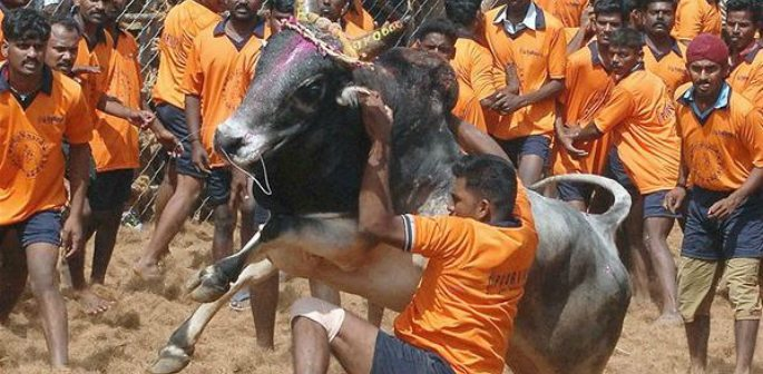 Jallikattu Ban ~ A Matter of Culture than Sport?