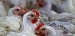How India's Chickens pumped with Strong Antibiotics affects Us