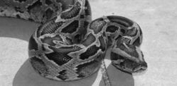 British Pakistani Man dies from Snake Bite in Pakistan