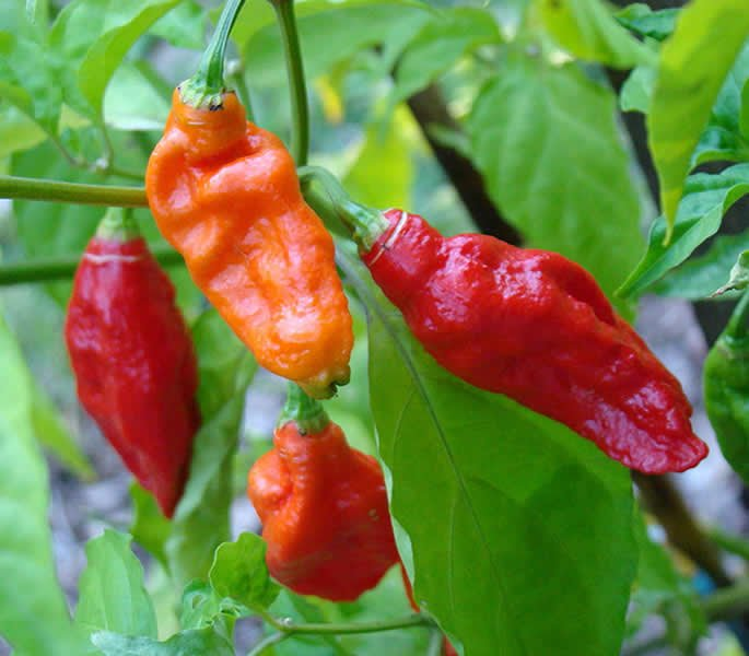 10 Most Dangerous Foods in the World - Bhut Jolokia