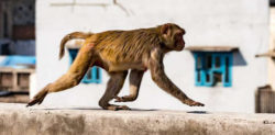 Indian Woman dies after being attacked by Monkeys