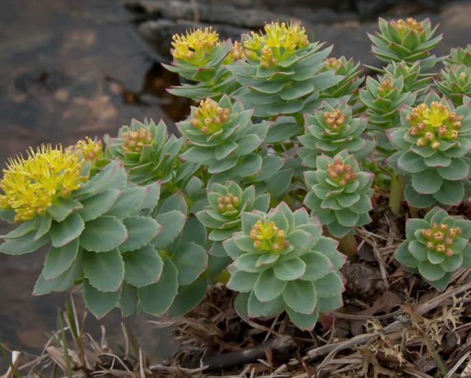 Natural Remedies for Energy and Vitality - rhodiola
