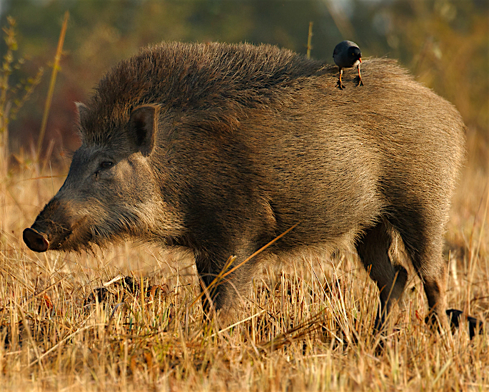 Ten Unusual and Weird Sports Played in India - indian boar