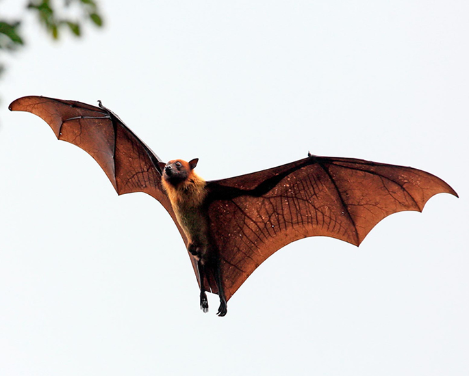 Did Coronavirus come from Bats or Leak from a Lab - bats