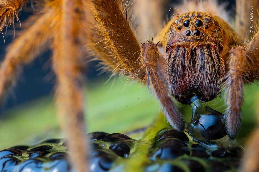 Wildlife Photographer of the Year Competition 2020 - Jaime Culebras