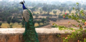 Why is the Peacock India's National Bird? f