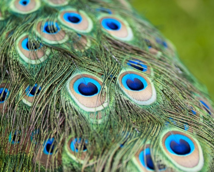 Why is the Peacock India's National Bird? - feathers