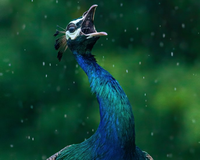 Why is the Peacock India's National Bird? - rain