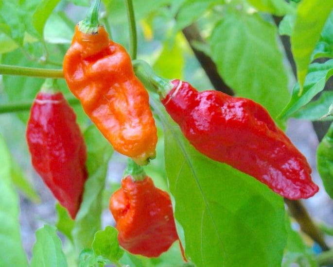 Qual è il peperoncino più piccante trovato in India: cosa lo rende piccante?